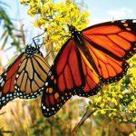 معلومات عن انقراض الفراشات الملكية