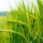 الفوائد الصحية للقمح الأخضر