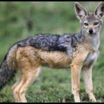 أوجه التشابه والاختلاف بين الذئب والقيوط