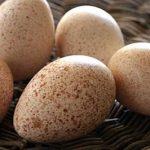 فوائد بيض الديك الرومي