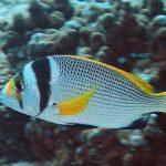 معلومات مذهلة عن سمك الفسكر
