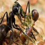 غرائب النمل الانتحاري