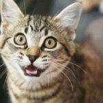 أسباب مواء القطط