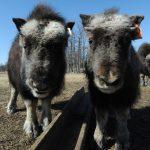 جولة إلى مزرعة ثور المسك في ألاسكا