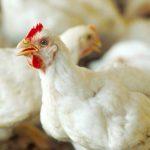 علاج نقص الكالسيوم عند الدجاج