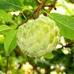 علاقة تناول فاكهة القشطة بالإصابة بالبرد