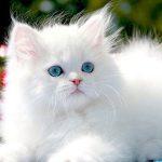 أمراض تصيب القطط الشيرازي وطرق علاجها