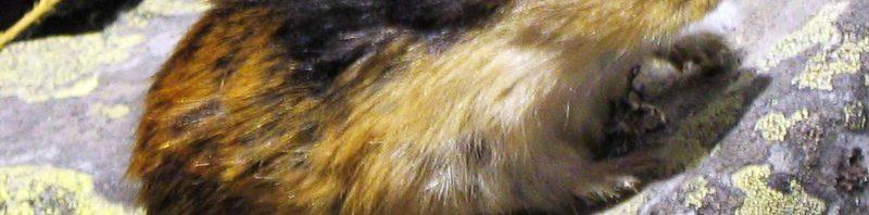 معلومات عن حيوان اللاموس حيوان-اللاموس-800x19