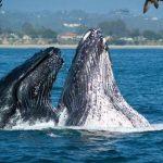 5 أماكن لمشاهدة الحيتان الضخمة في أمريكا الغربية