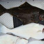 فوائد تناول سمك الهلبوت