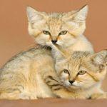 قط الرمال أحد الحيوانات المهددة بالانقراض