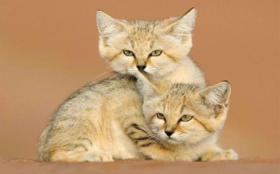 قط الرمال أحد الحيوانات المهددة بالانقراض   المرسال