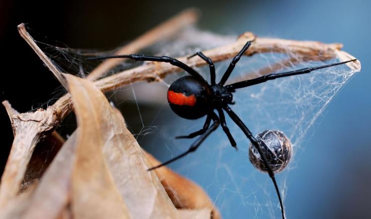 غذاء العنكبوت ودورة حياته أنثى-العناكب.jpg