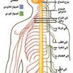 النظام الغذائي السليم للجهاز العصبي