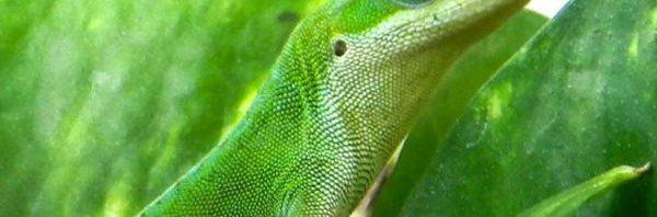 اسباب تحول دماء بعض السحالي إلى اللون الأخضر السحالي-الخضراء-600x