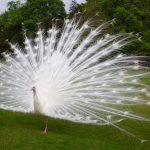 طريقة تزواج الطاووس الابيض واهم صفاته