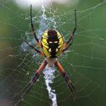 غذاء العنكبوت ودورة حياته