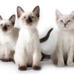 كيفية تربية القطط السيامي الصغيرة بالمنزل