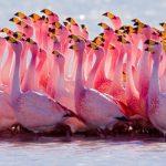 حقيقة انقراض طائر الفلامنجو بالعراق
