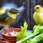 غذاء الخضروات الصحية لطيور الزينة