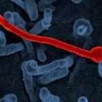تنوع سلالات فيروس الإيبولا لا تؤثر على مسار المرض