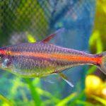 معلومات عن أسماك التترا وكيفية تربيتها