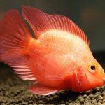 كيفية تربية سمكة الببغاء الدموية