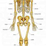 معلومات عن عدد العظام في جسم الانسان