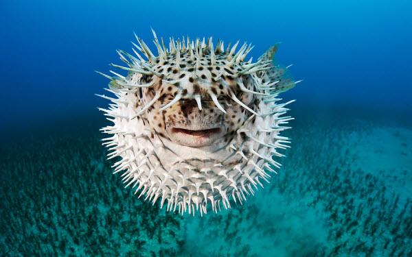 معلومات عن سمك البالون السام دفاع-سمك-البالون-عن-
