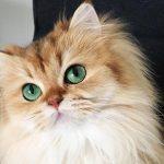 اسباب سقوط شعر القطط الشيرازي وطريقة العلاج