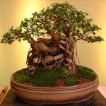 كيفية زراعة شجرة البونساي في المنزل