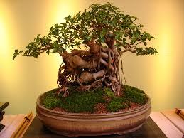 زراعة شجرة البونساي المنزل