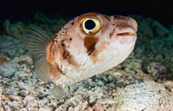 معلومات عن سمك البالون السام صفات-سمكة-البالون-ال