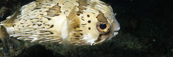 معلومات عن سمك البالون السام معلومات-عن-سمك-البال