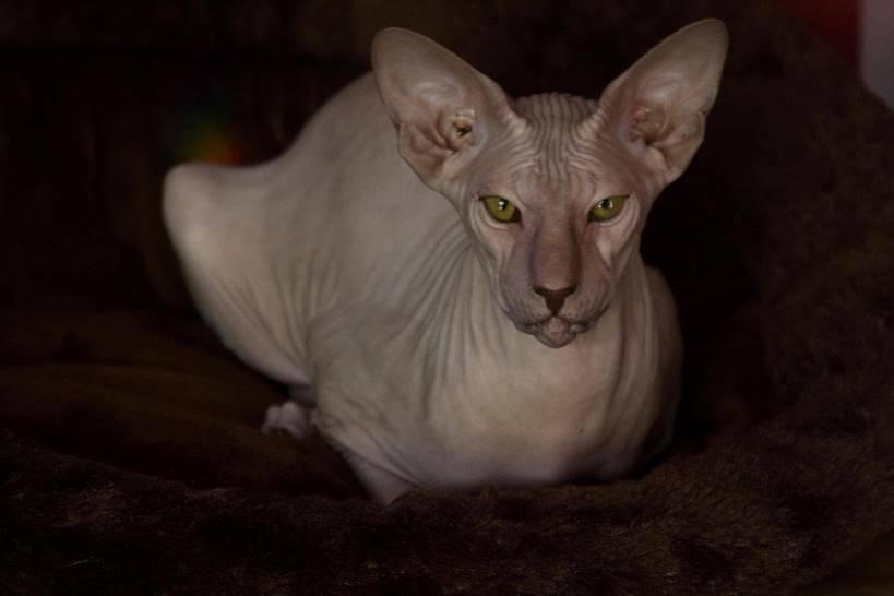 تعرف على سلالة قط بيتربالد المرسال