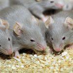 فوائد الفلفل الأسود في التخلص من الفئران