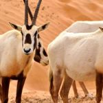 اهم المحميات الطبيعيه المخصصه للمها العربي