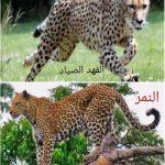 الفرق بين النمر العربي والفهد