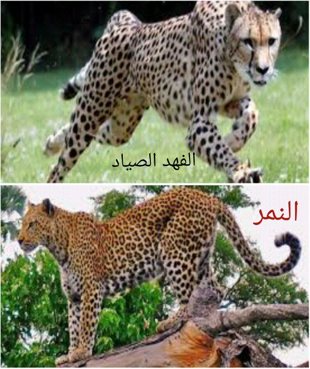 النمر العربي - موسوعة ورقات العربية