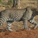 لماذا يعد النمر العربي حيوانا مهددا بالانقراض