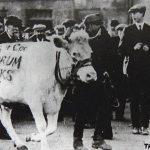 قصة البقرة تورا كو التي قادت مدينة بأكملها لأعمال الشغب