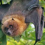 الثعلب الطيار أكثر الخفافيش المهددة بالانقراض