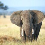 غرائب وعجائب عن الأفيال