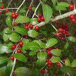 فوائد تناول نبات اليوبون yaupon