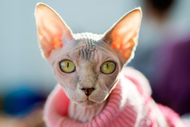 القطط بدون شعر السفينكس المرسال