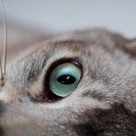 قط البورميلا احد انواع القطط الاليفة