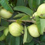 زراعة الجوافة وكيفية الاعتناء بها