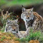 معلومات عن حيوان الوشق الإيبري المهدد بالانقراض