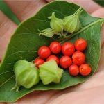 استخدام عشبة الأشوغندا في علاج الغدة الدرقية