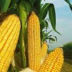 الفرق بين الذرة الحلوة والذرة الحقلية